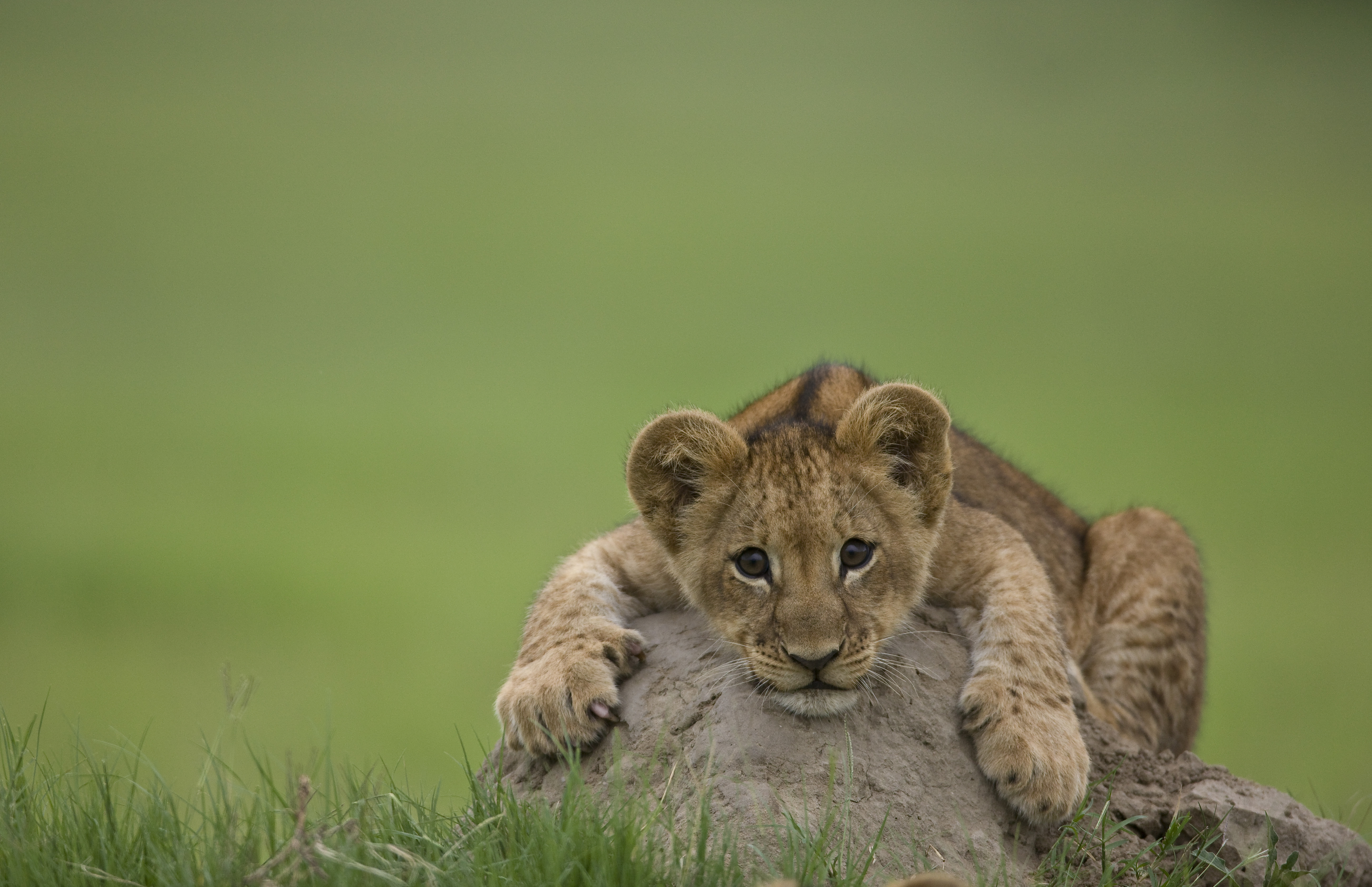 Baby lion from the last lions