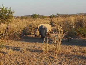 Rhino in the Bush
