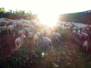 More Sheep:  No Wonder the Stars Are in Awe