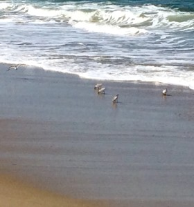 Sandpipers and Friend